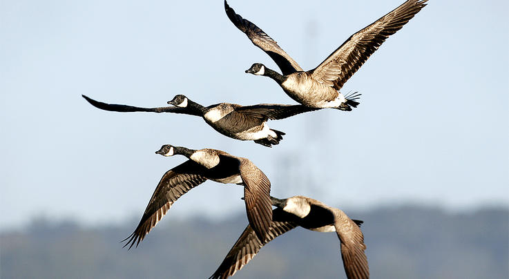 The Early-Season Goose Shuffle (and Backup Plans) Preview Image