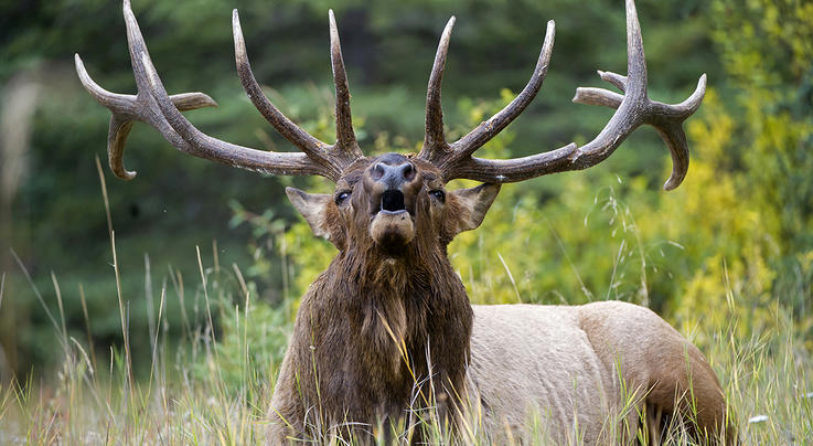 10 Elk Calling Mistakes That Can Cost You a Bull Preview Image