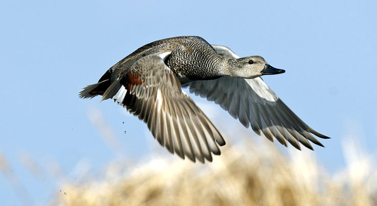 2021 Central Flyway Duck Hunting Forecast Preview Image
