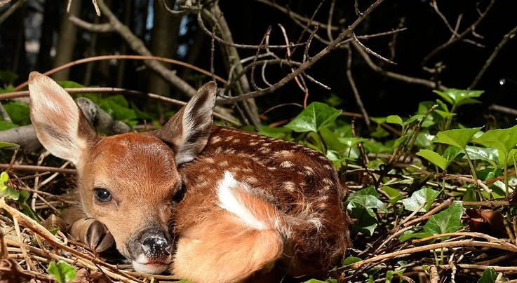 What Really Kills Whitetail Fawns? Preview Image