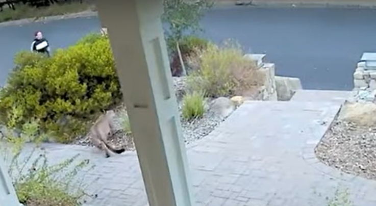 Watch: Mountain Lion Hides Behind Bush as Woman Jogs By Preview Image