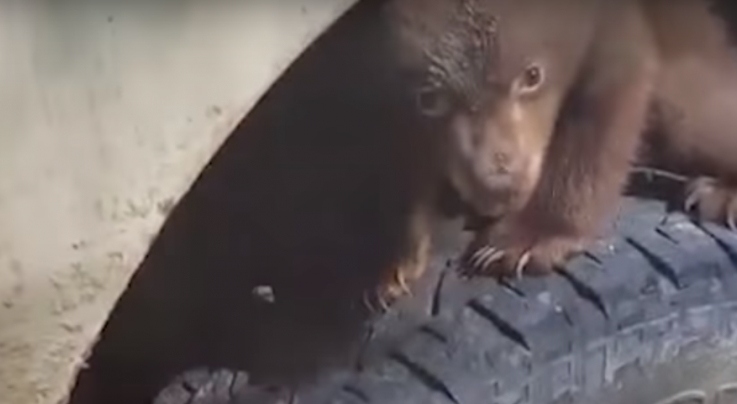 Video Shows Baby Black Bear Hiding in Forestry Department Vehicle's Wheel Well Preview Image