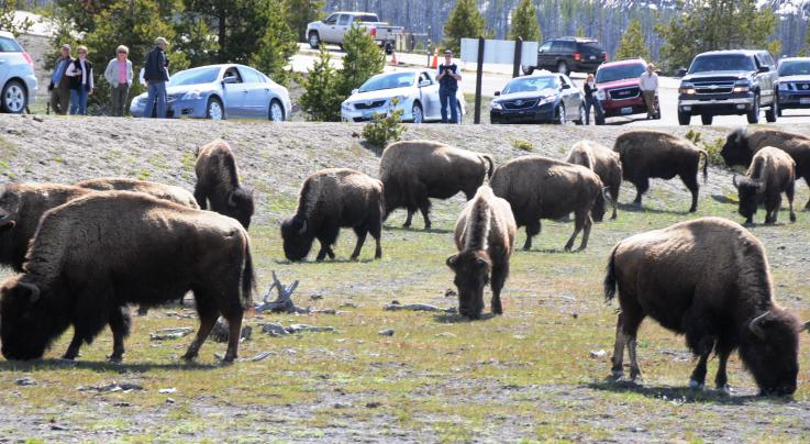 Yellowstone Bison Gores Teen Girl Preview Image