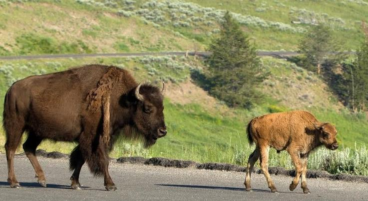 Bison Calf Euthanized After Yellowstone Tourists Put It In Their Vehicle Preview Image