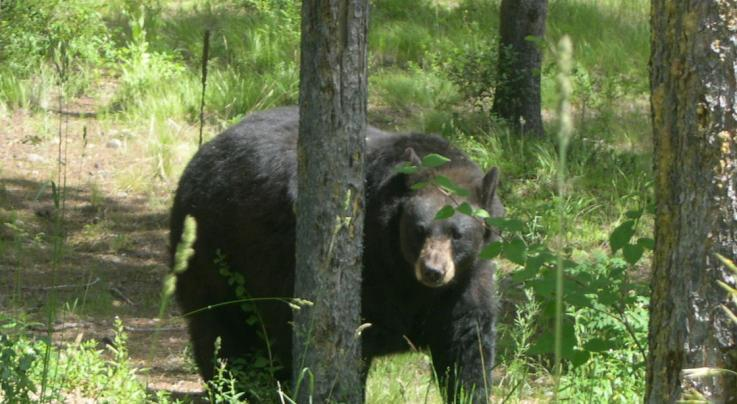 Biologists Shoot Four Black Bears in an Effort to Kill One That Fatally Mauled Young Racer Preview Image