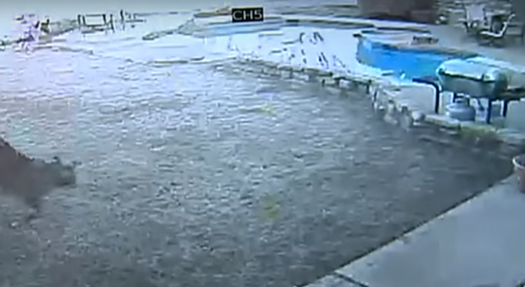 Video Footage Shows Bobcat Killing Dog In Backyard Preview Image