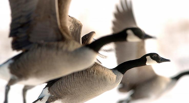 3 Sure-Kill Goose Hunting Strategies You're Overlooking Preview Image
