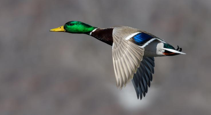 Top Mallard Hunting Myths Exploded Preview Image
