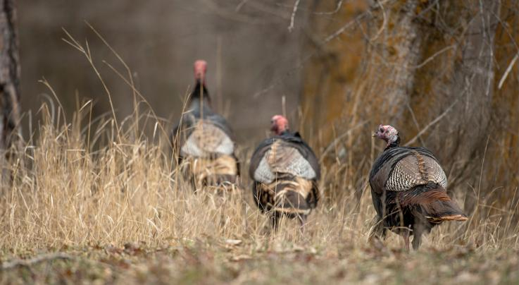 4 Turkey Calling Tips for Fall Gobblers Preview Image