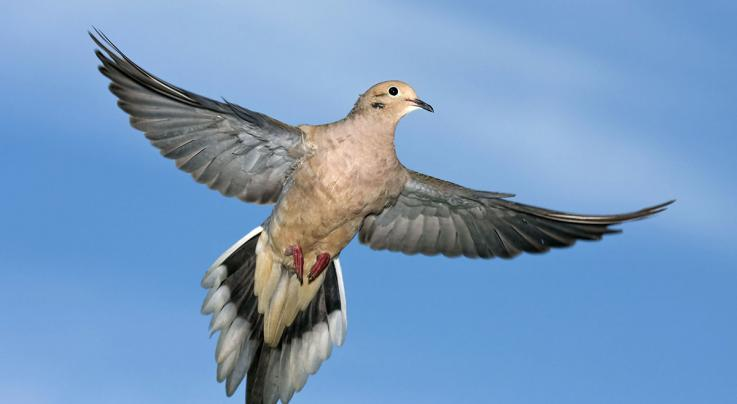 Sharp Shooting: The Best 'Other' Birds for Waterfowlers Preview Image