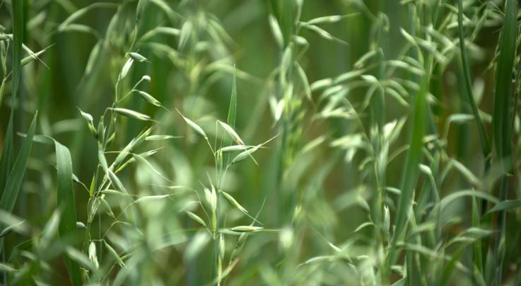 Food Plot Seed: How to Plant Oats Preview Image