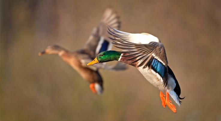 Duck Hunting Royalty: Why the Mallard Reigns Preview Image