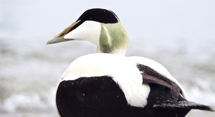 Top 5 Sea Duck and Merganser Harvest States Preview Image
