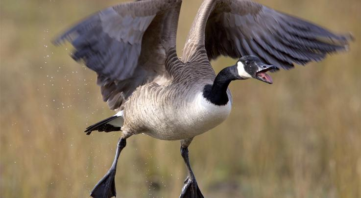 Top 7 Goose Hunting States by Species Preview Image