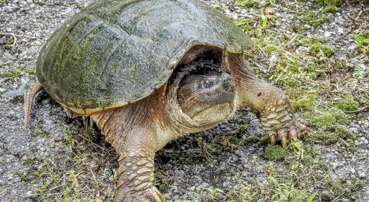 How to Skin a Snapping Turtle the Timber2Table Way Preview Image