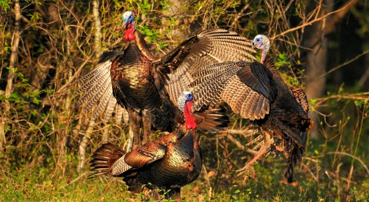 The 20 Best Photos You'll Ever See of the Wild Turkey Breeding Season Preview Image