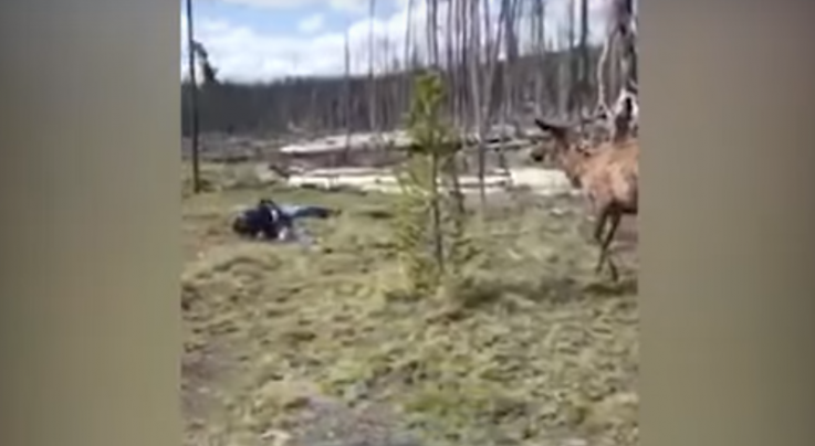 Video Footage Shows Yellowstone Elk Charging Woman Preview Image