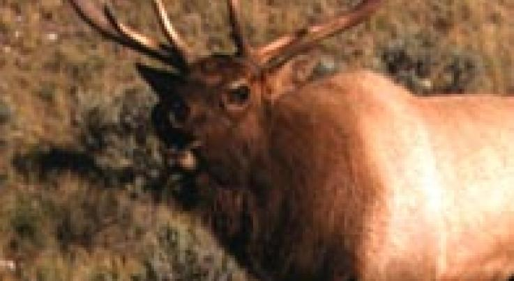 PA Elk Alert: Tag Draw Deadline Nears Preview Image