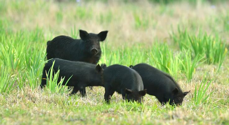 See How Feral Pigs Are Raiding Wild Turkey Nests Preview Image