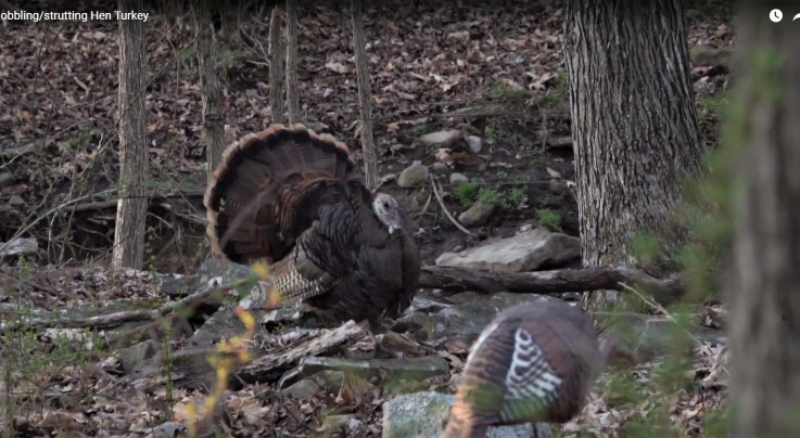 Watch a Gobbling and Strutting Wild Turkey Hen Preview Image