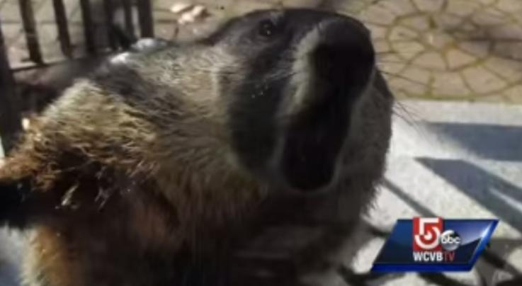 Rampaging Groundhog Causes Chaos in New Hampshire Neighborhood Preview Image