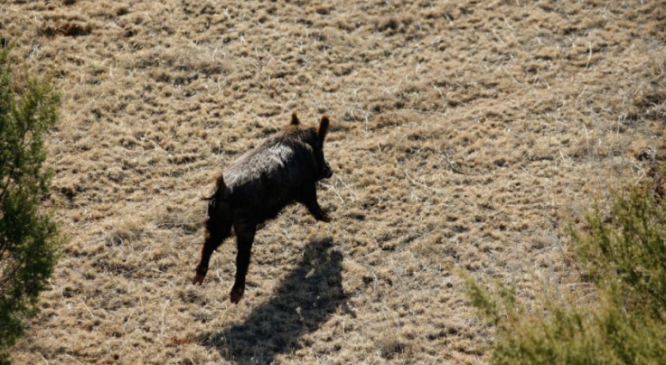 Photo Gallery: Feral Hog Hunting by Helicopter Preview Image