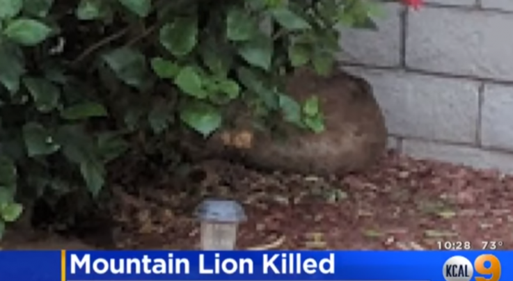 Police Shoot Mountain Lion That Killed Pets, Charged Officers Preview Image