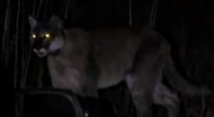 Watch Family Rescue Dog from Mountain Lion Preview Image