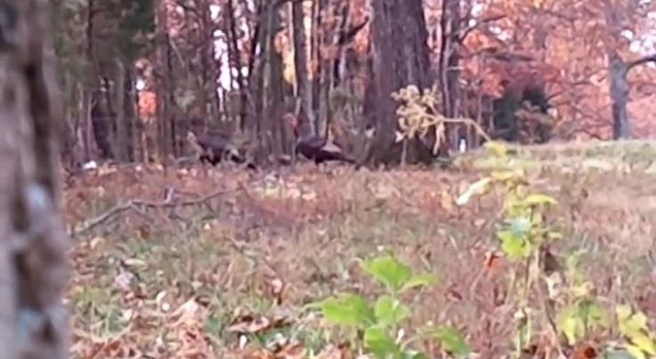 Video: Predator Hunter Calls in Two Fall Longbeards Using a Rabbit Distress Call Preview Image