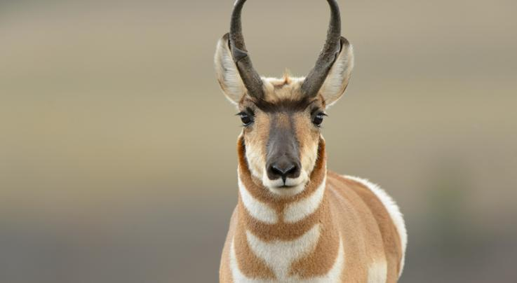 How to Stalk a Pronghorn Antelope Preview Image
