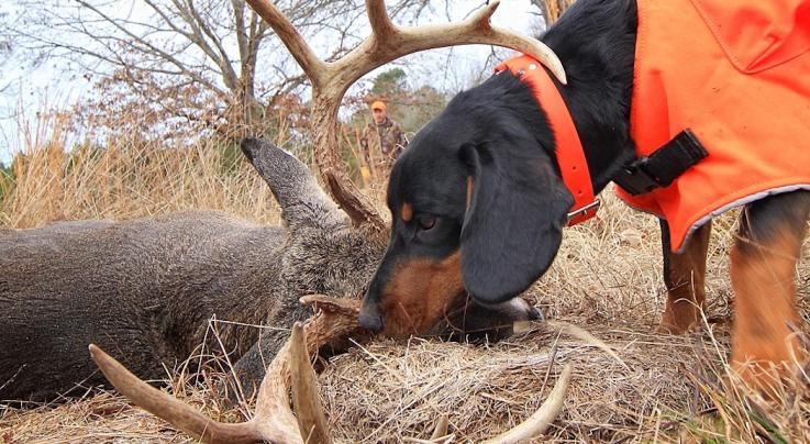 5 Traits of a Good Blood-Trailing Deer Dog Preview Image