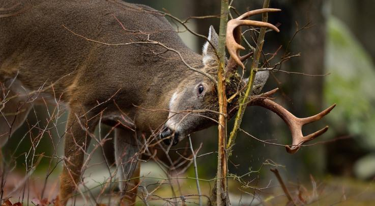 A Detailed Look At Whitetail Buck Rubbing Behavior Preview Image