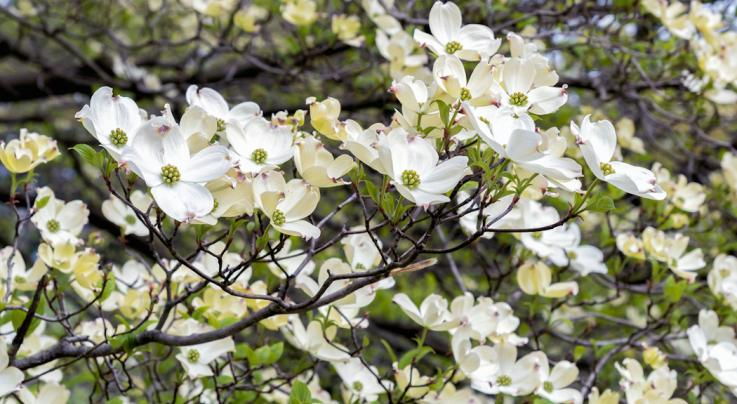 Planting Dogwood Trees for Wildlife Preview Image