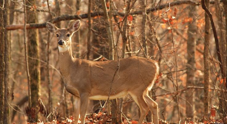 5 Reasons Wildlife Benefits from Timber Harvests Preview Image