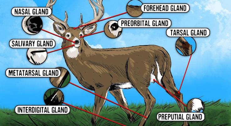 The Deer Hunter's Guide to Whitetail Glands Preview Image