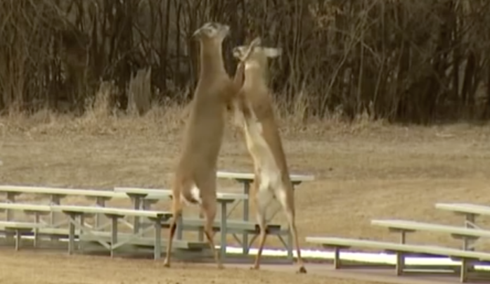Video: Whitetails Fight In Boxing Match Preview Image