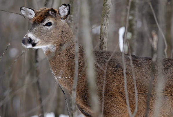 Shedding Bucks And Carefully Identifying Does Preview Image