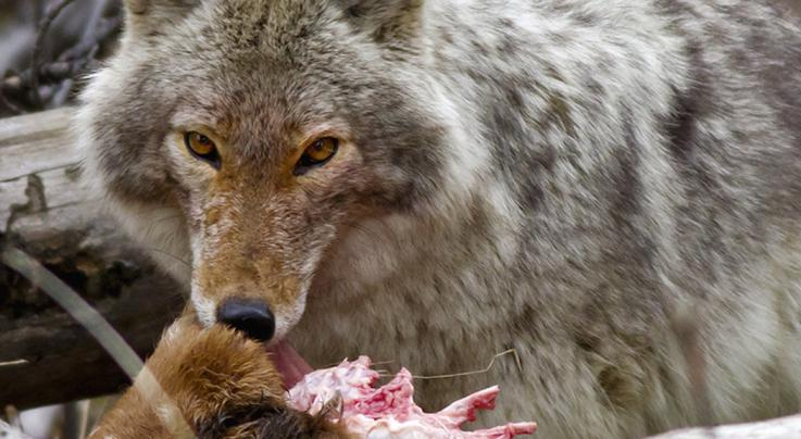 8 Reasons Deer Hunters Should Hunt Coyotes Preview Image