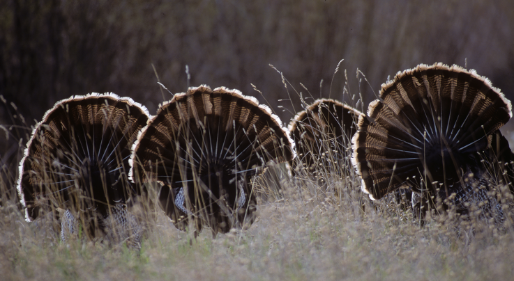 How to Hunt the Wild Turkey Breeding Phases Preview Image