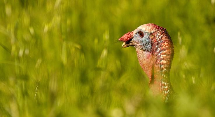 7 Setups for Public Land Turkeys Preview Image