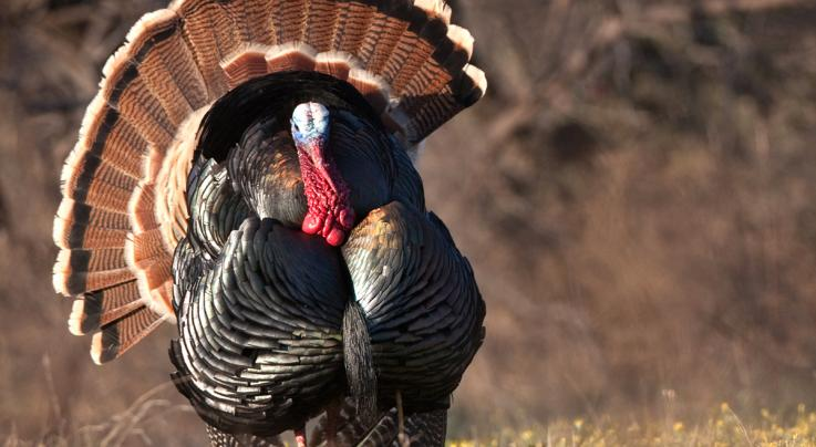 5 Tips to Plan Your 2019 Spring Turkey Hunts  Preview Image