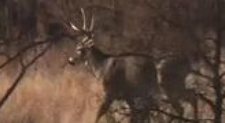 Big whitetails in Kansas and the Milk River Preview Image
