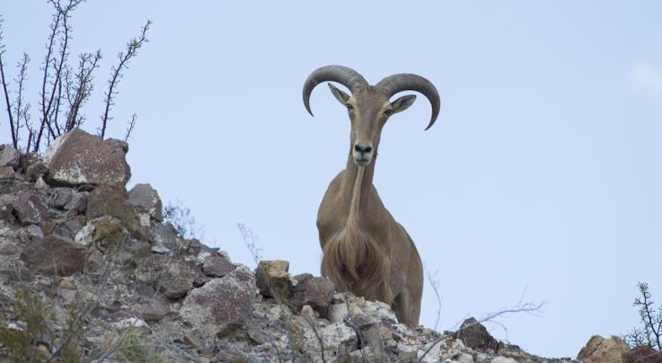 Aoudad Hunting: The Poor Man's Sheep Preview Image