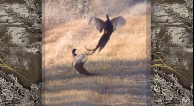 Video of Two Wild Pheasants Fighting Preview Image
