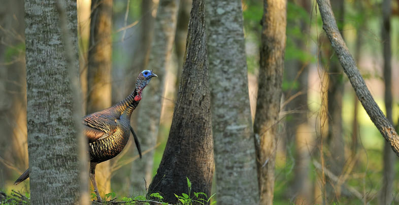 <h2>The Devil Turkey of Martin Creek</h2> Preview Image