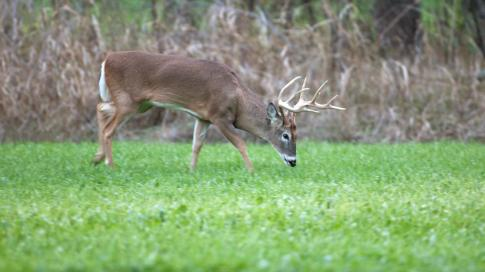 Why You Should Plant Fall Food Plots for Deer Preview Image