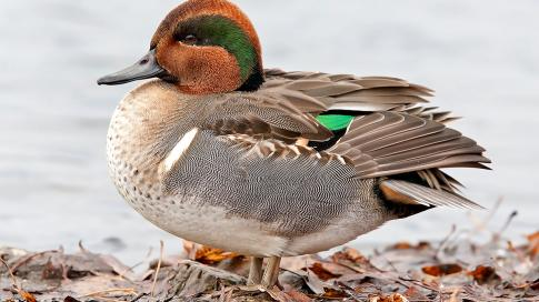 Pacific Flyway Waterfowl Hunting, Weather Steady  Preview Image