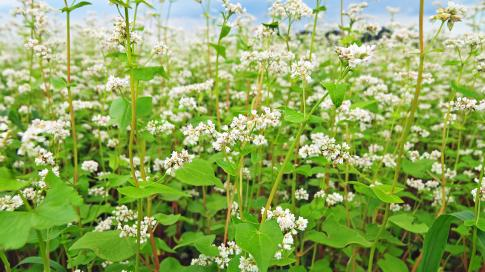 Food Plot Seed: How to Plant Buckwheat Preview Image