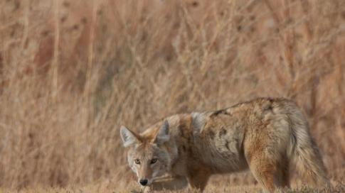 8 Mistakes Rookie Coyote Hunters Make Preview Image