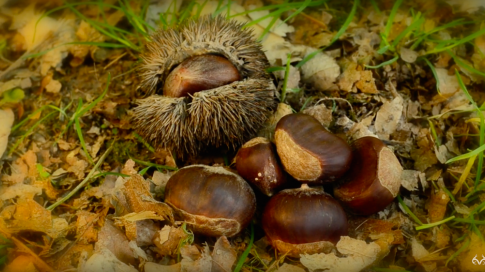 How to Plant Chestnut Trees for Deer Preview Image
